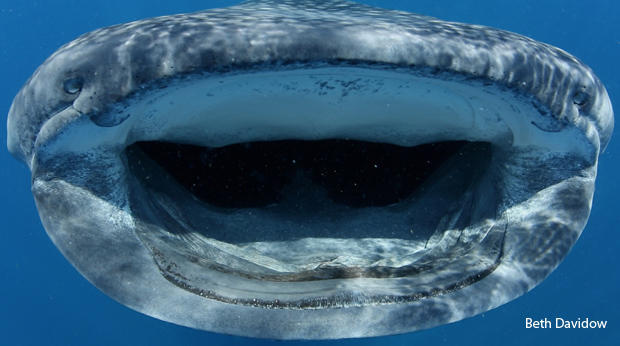 whale-shark-nostrils-and-mouth-beth-davidow-620.jpg