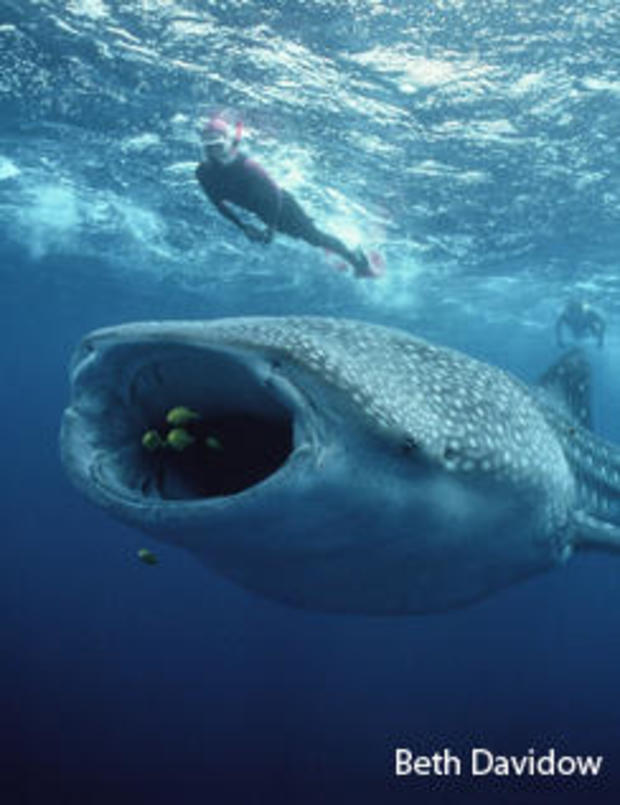 whale-shark-with-divers-vertical-beth-davidow-244.jpg