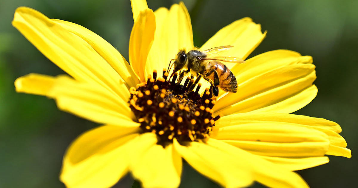 "Environmental Protection Agency to allow once-banned pesticide that beekeepers say ""decimate beneficial insects"""