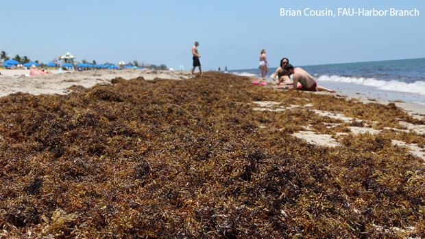 concentrated-masses-of-sargassum-along-a-beach-photo-courtesy-brian-cousin-fau-harbor-branch-620.jpg