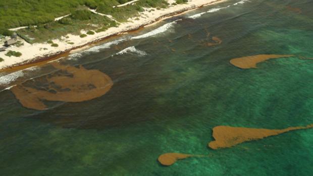 Massive waves of toxic seaweed inundate Yucatan shorelines