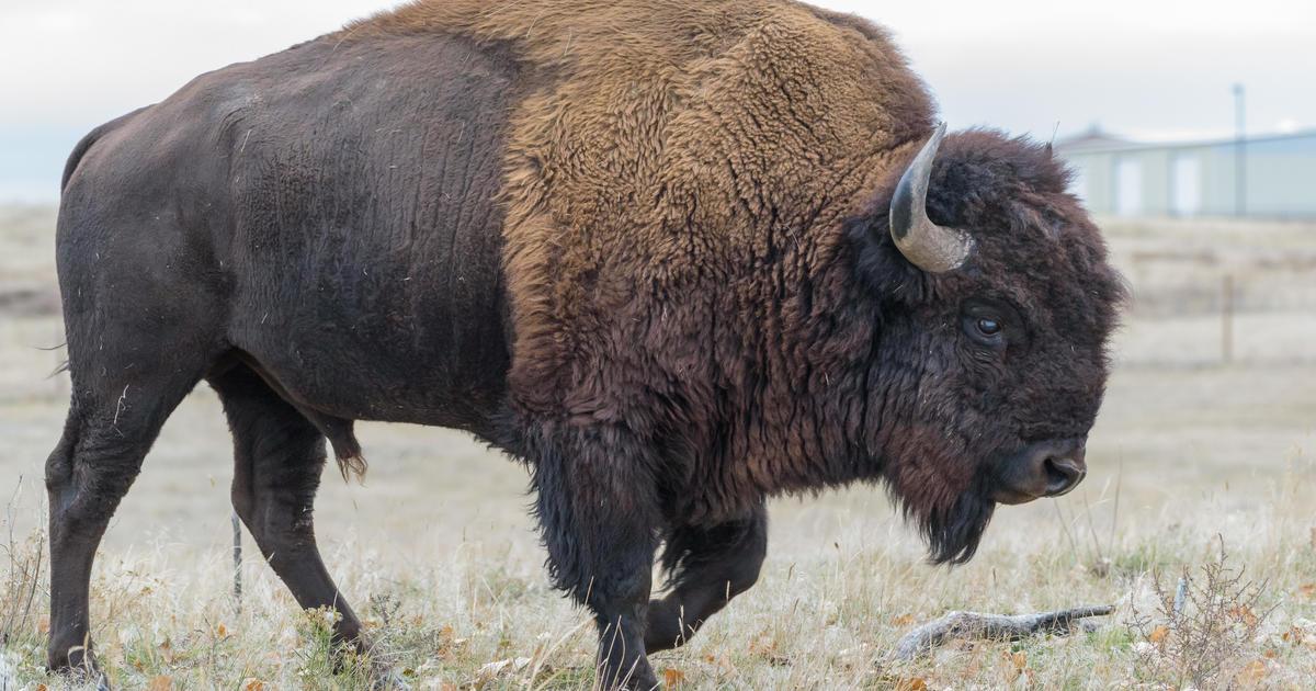 bison - photo #3