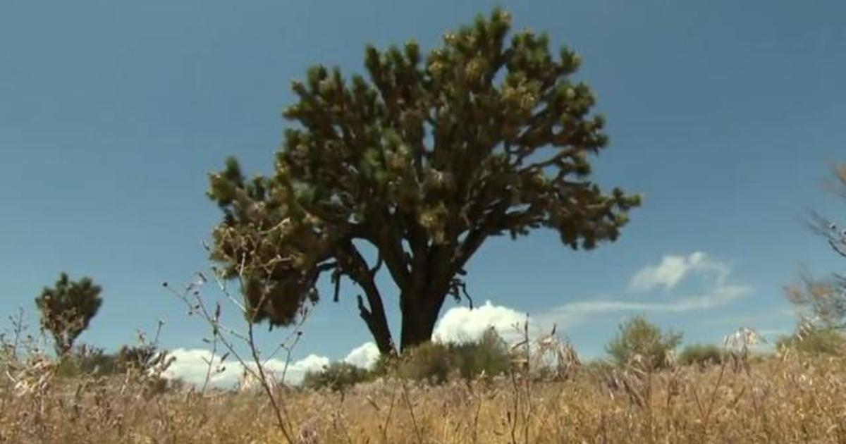 Joshua trees at risk of extinction from climate change