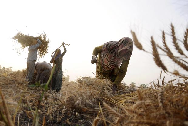 INDIA-AGRICULTURE-WHEAT