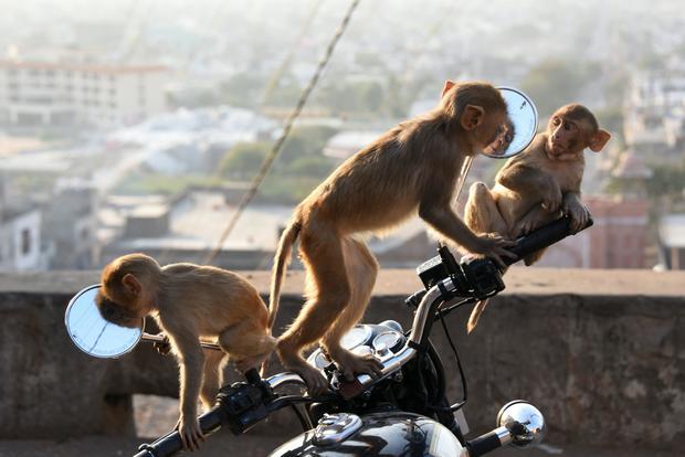 INDIA-ANIMAL-MONKEY