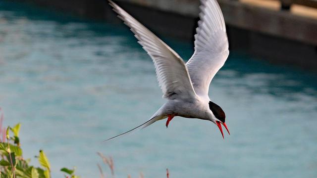 arctic-tern-in-flight-sherri-obrien-promo.jpg