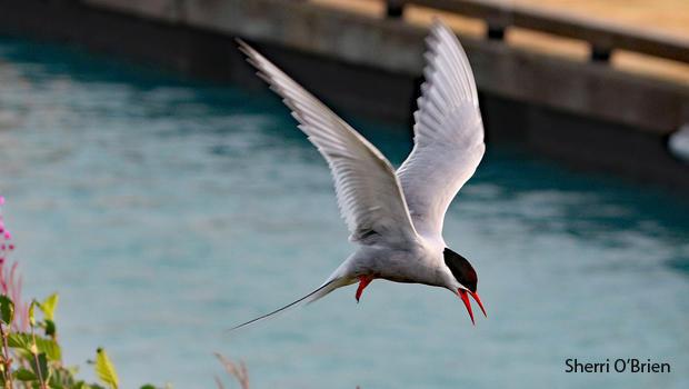 arctic-tern-in-flight-sherri-obrien-620.jpg