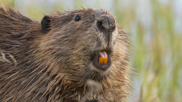 beaver-judith-lehmberg-teeth-4500-promo-top.jpg