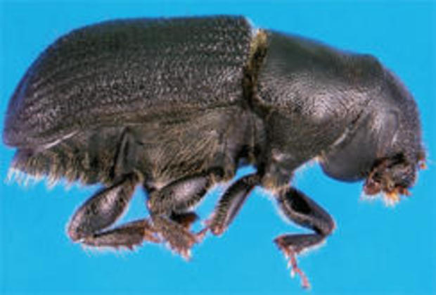 adult-mountain-pine-beetle-photo-erich-g-vallery-usda-forest-service-244.jpg