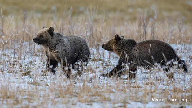grizzly-cubs-running-verne-lehmberg-620.jpg