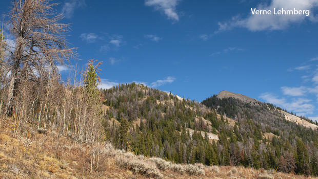 whitebark-pine-killed-by-pine-bark-beetles-verne-lehmberg-620.jpg