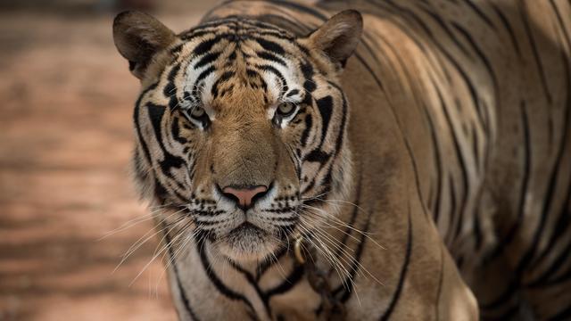 THAILAND-ENVIRONMENT-TIGER