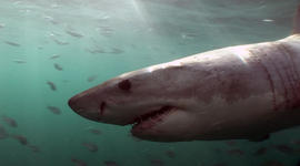 The Atlantic great white shark makes a comeback