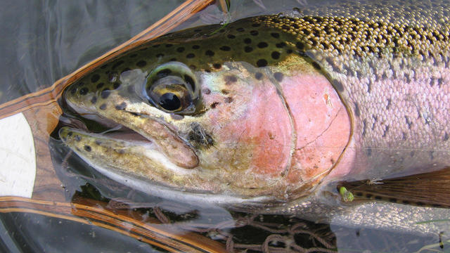 rainbow-trout-from-creek-in-big-horn-county-mt-black-caddis-in-mouth-judith-lehmberg-promo.jpg