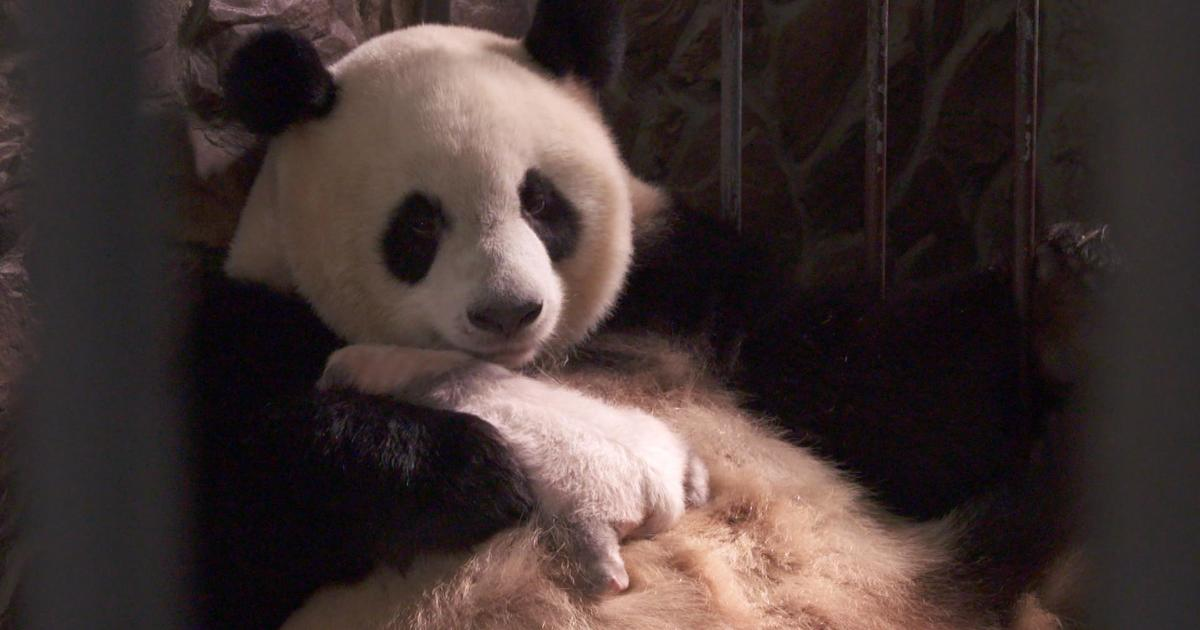Saving the giant panda from extinction