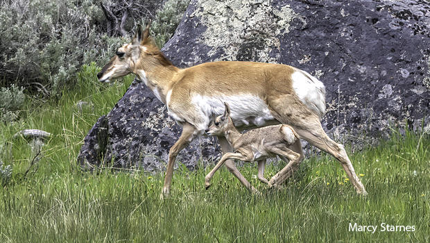 pronghorn-and-fawn-marcy-starnes-620.jpg