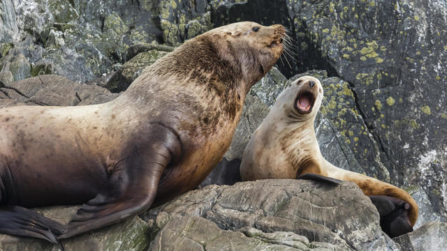 Steller sea lions in southeast Alaska