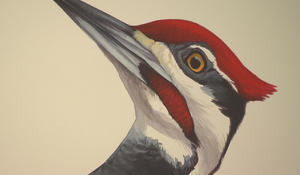 For the birds: Illustrator David Allen Sibley