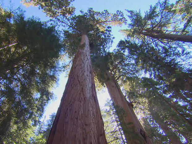 sequoia-grove-at-sequoia-national-park-promo.jpg