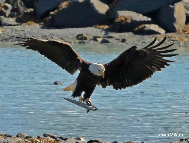 bald-eagle-with-chum-salmon-sherri-obrien-620-tall.jpg