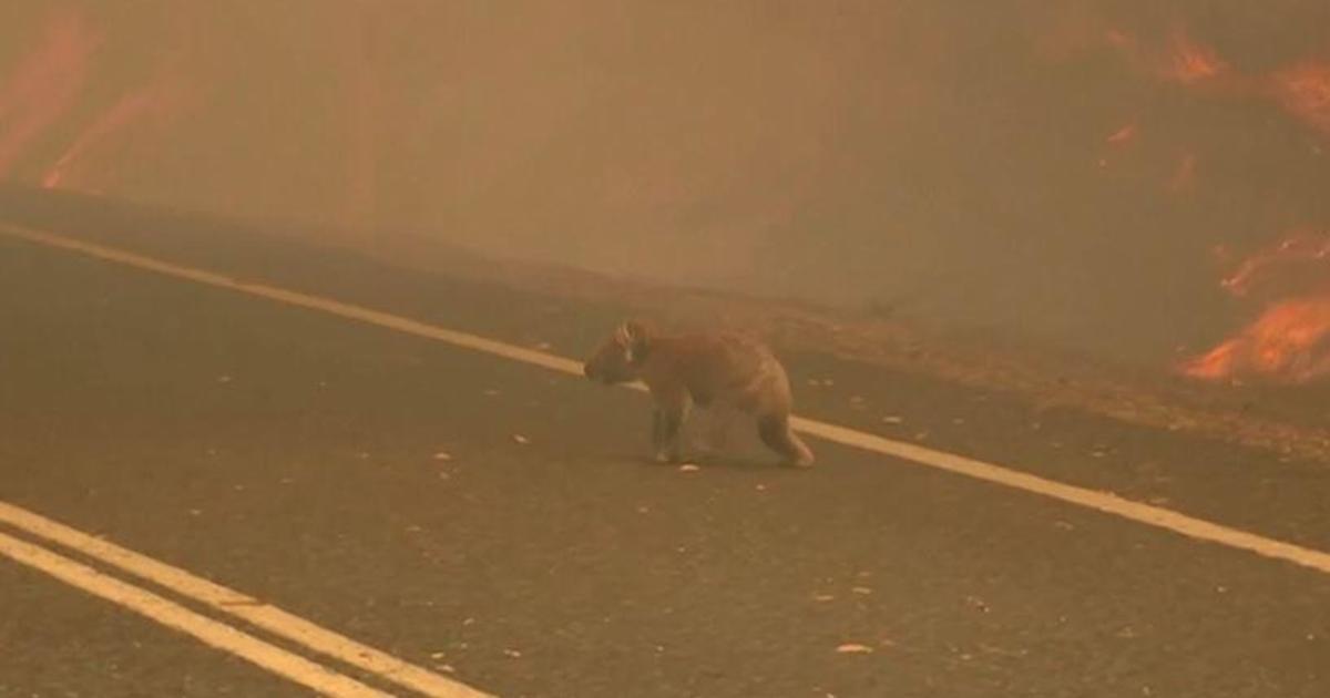 Woman risks her life to save a koala bushfires