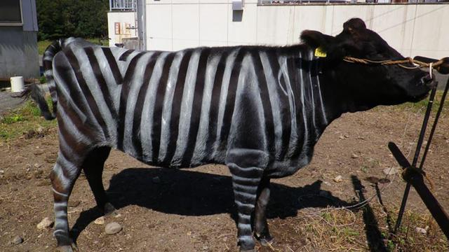 plos-one-zebra-cow.jpg