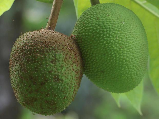 breadfruit-a-promo.jpg