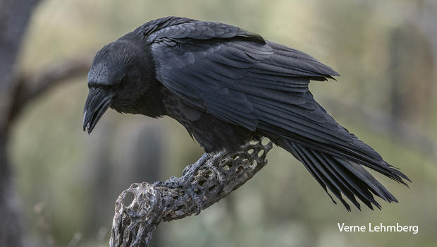 dante-a-chihuahuan-raven-verne-lehmberg-620.jpg