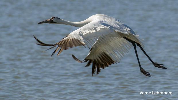mature-whooping-crane-taking-off-verne-lehmberg-620.jpg