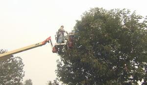 chestnut-tree-2.jpg