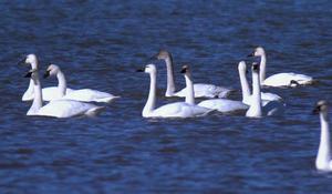 Swans at Cayuga Lake