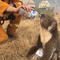 A koala drinks water offered from a bottle by a firefighter in Cudlee Creek during bushfires in south Australia