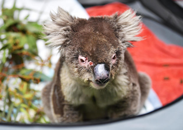 Australia wildfires: Animals in peril across the country