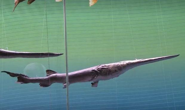 giant-chinese-paddlefish.jpg