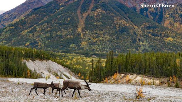 caribou-at-watson-lake-in-fall-sherri-obrien.jpg