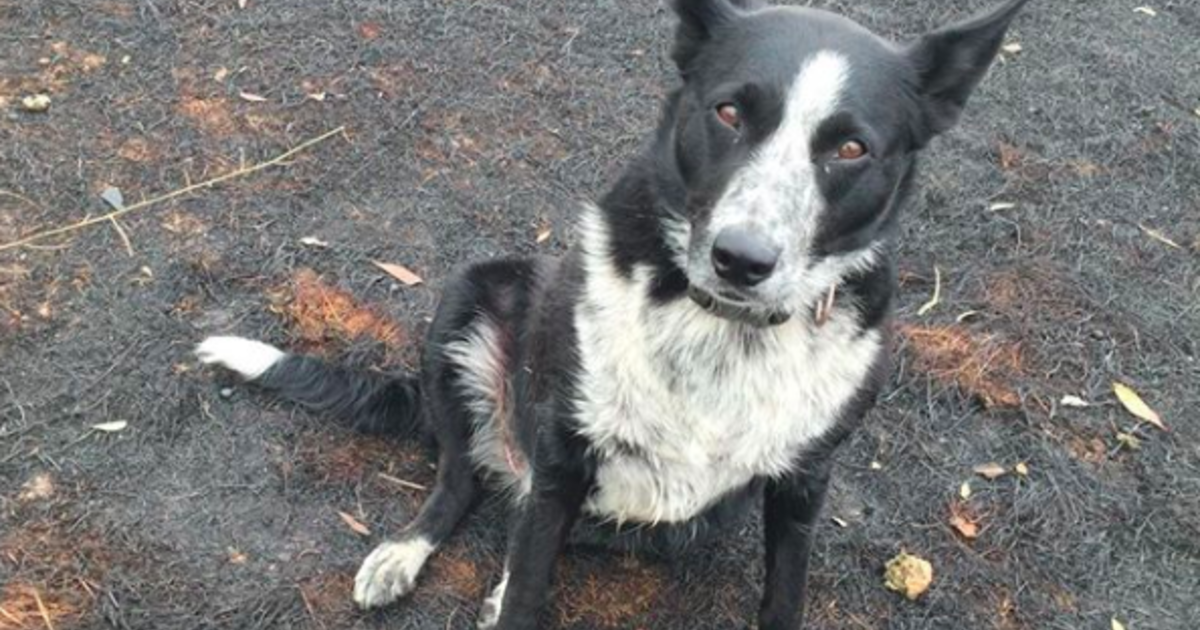 Heroic dog saves hundreds of animals from Australian wildfire
