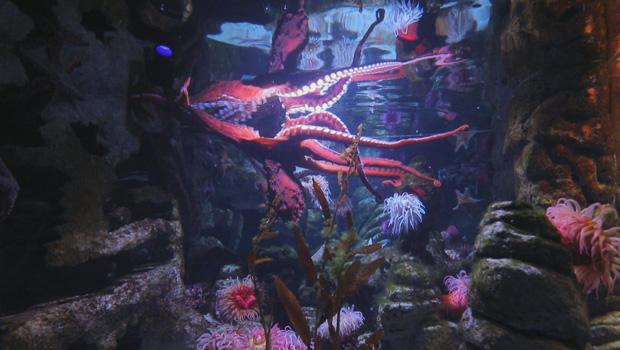giant-pacific-octopus-new-england-aquarium-in-boston-620.jpg