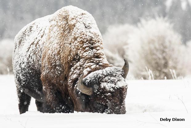 bison-shoveling-snow-deby-dixon-620.jpg