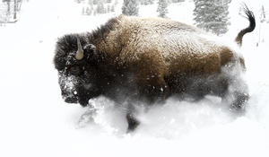 bucking-bull-bison-01-deby-dixon-promo.jpg