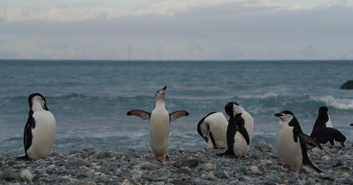 Global warming cited as Antarctica's chinstrap penguin population drops by half thumbnail