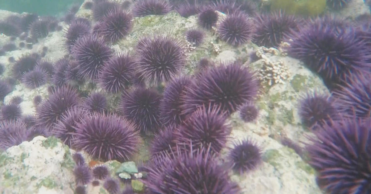 New tactic in combating exploding sea urchin population