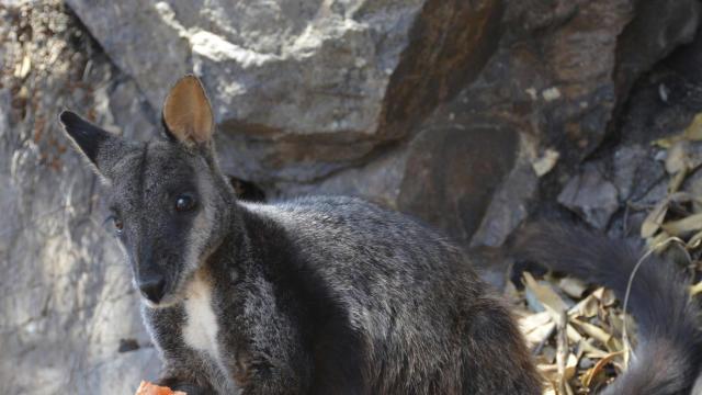 Australia Wildfires Wildlife