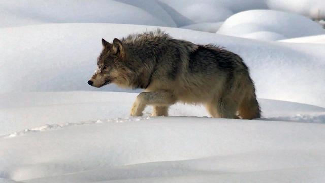 wolfvideo-2010743-640x360.jpg