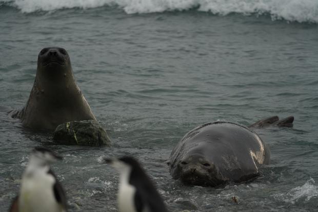 elephant-island-seals-penguins.jpg