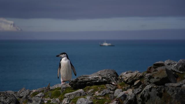 chinstrap-penguin-antarctica.jpg