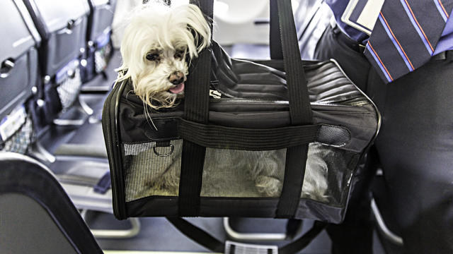 Dog traveling on an airplane