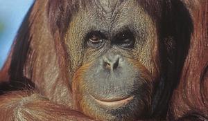 orangutan-at-fort-worth-zoo-verne-lehmberg-promo.jpg