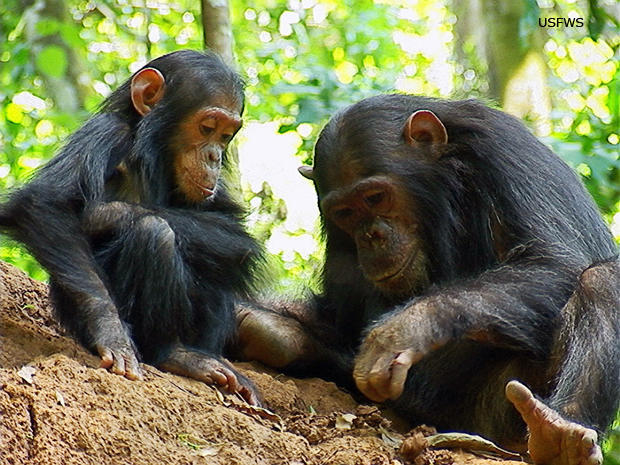 two-goodall-chimpanzees-glitter-and-her-sister-gaia-us-fish-and-wildlife-620-tall.jpg