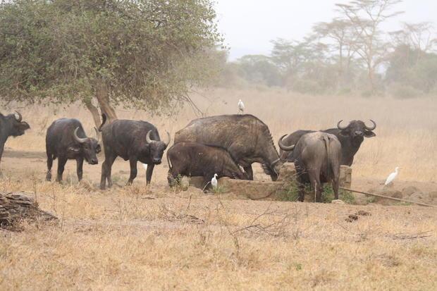 Buffaloes are seen looking for water at Lake Nakuru National
