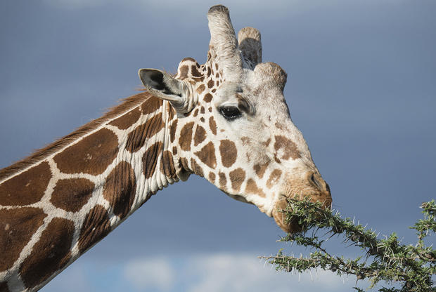 reticulated-giraffe-eating-leaves-verne-lehmberg-620.jpg